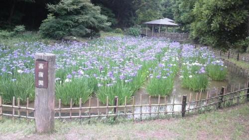 生田緑地 菖蒲園
