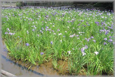 生田緑地の花菖蒲